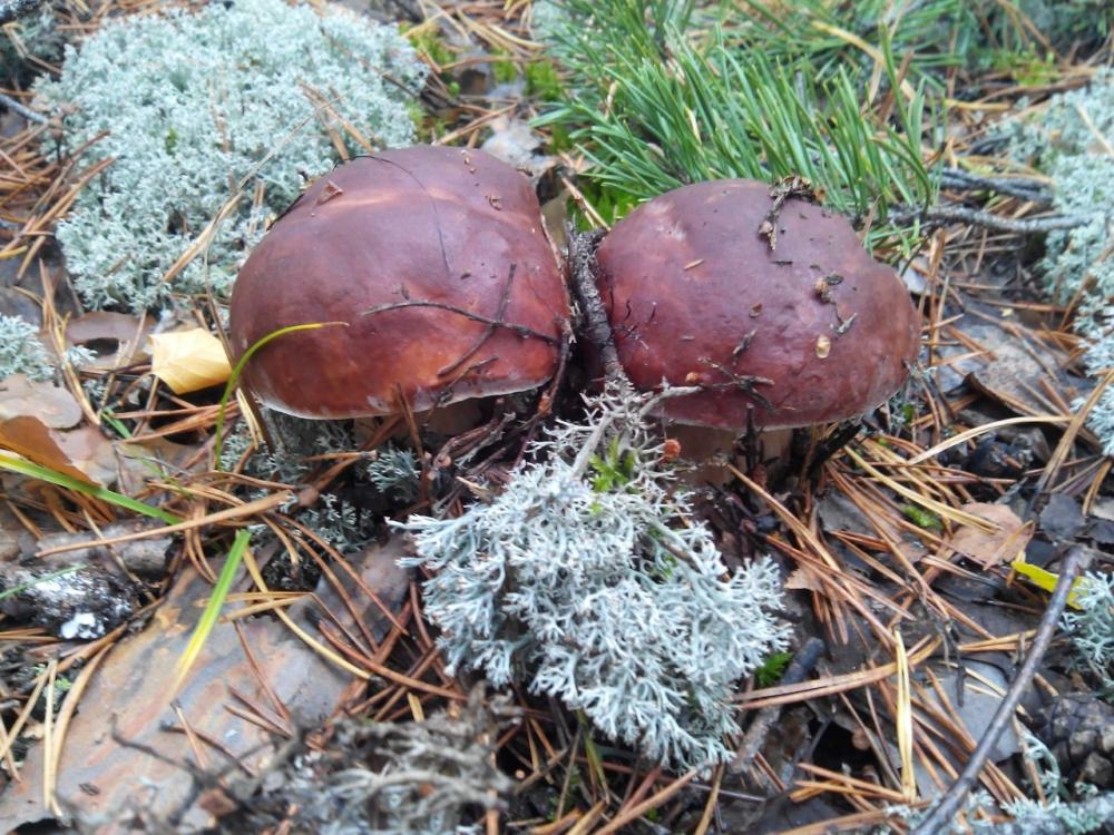 грибы, грибы в марийке в марий эл, грибники йошкар-олы, белые грибы, где собирать грибы около йошкар-олы, грибные места