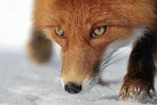 Собака защитила жителя деревни Сарапаево от нападения бешеной лисы