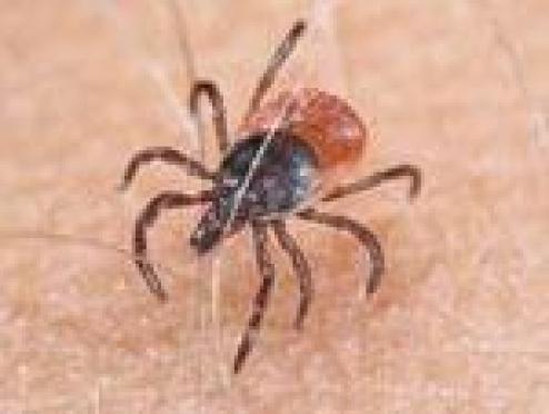 В Йошкар-Оле – первый случай заражения клещевым боррелиозом