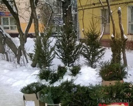 В Йошкар-Оле полутораметровая живая ель стоит от 500 рублей