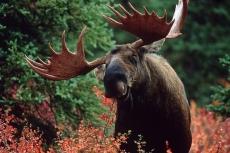В Куженерском районе браконьеры завалили лося