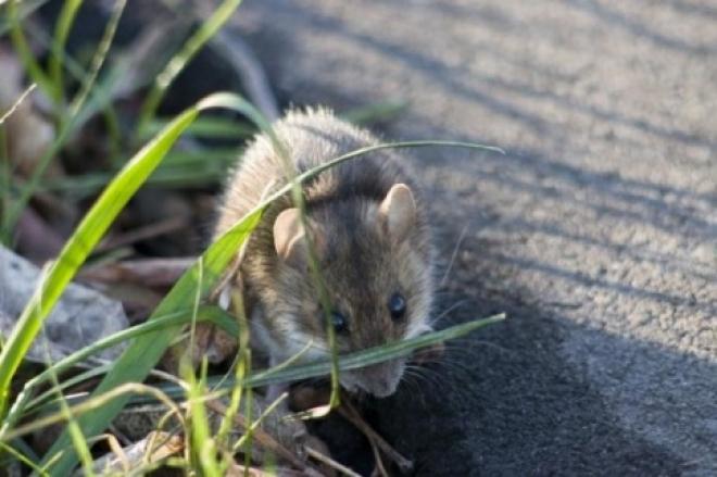 В Марий Эл все реже диагностируют «мышиную лихорадку»