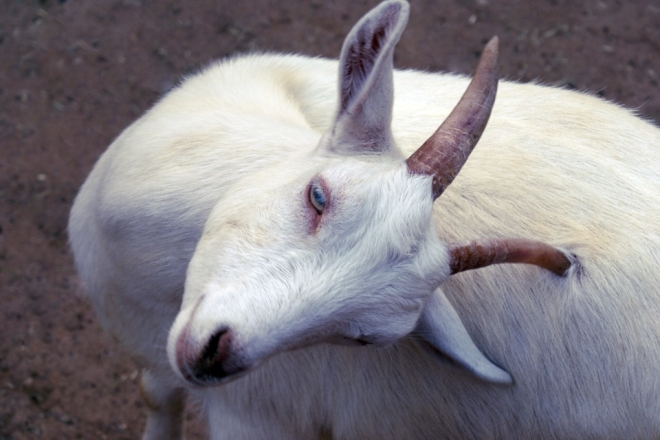 В Мари-Турекском районе коза заразилась бешенством