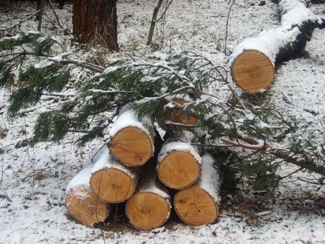 В Килемарском районе незаконно вырубили 68 лесных красавиц