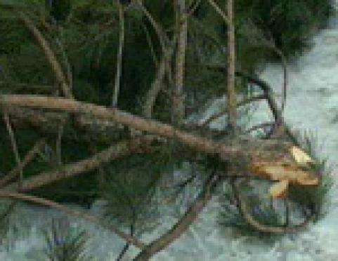 В Марий Эл зафиксирована первая вырубка елей перед новогодними праздниками