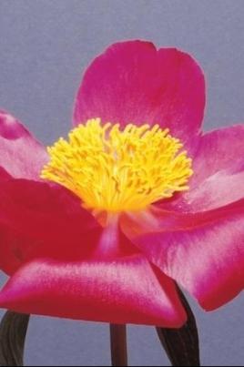 Аленький цветочек постер