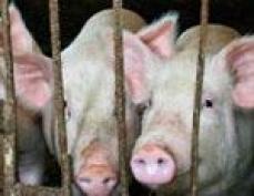 В Марий Эл свиней из СИЗО пустят под нож