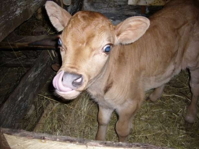 В Мари-Турекском районе бешеная лиса покусала полуторагодовалого бычка