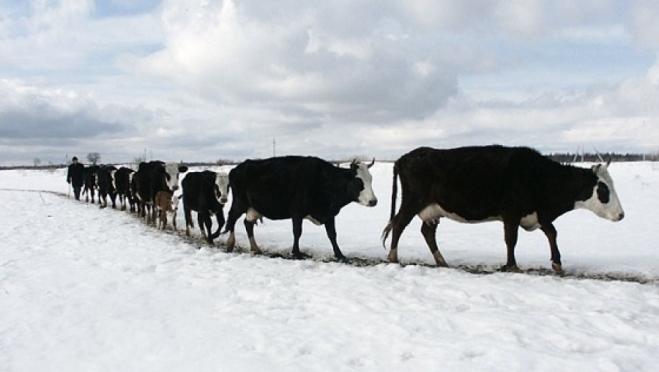 В Звениговском районе арестовали крупный рогатый скот