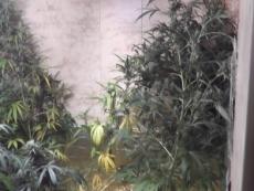 Любитель выращивать коноплю в домашних условиях заинтересовал полицию
