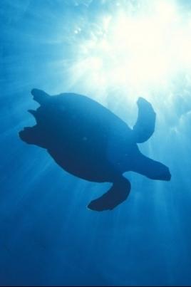 Внимание, черепаха! постер