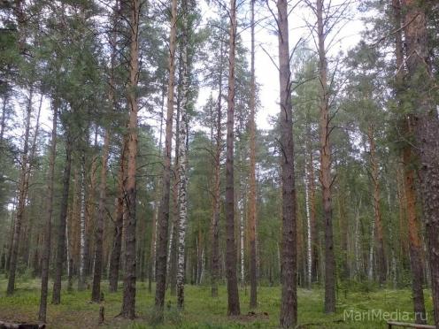 Вторые сутки ведутся поиски пропавшей в лесу пожилой йошкаролинки