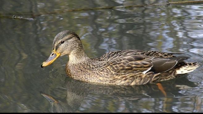 Дождливая весна отразилась на численности водоплавающей дичи в Марий Эл