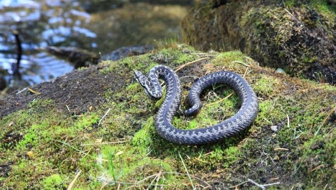 В Марий Эл участились случаи укусов змей