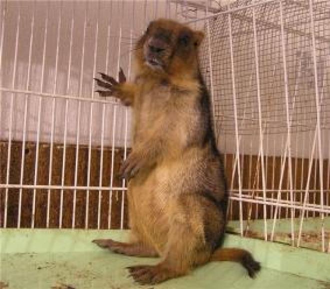 В Медведевском зоопарке Марий Эл не с кем встречать День сурка