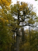 Дуб Пугачева в Марий Эл готовится официально стать «Памятником живой природы»