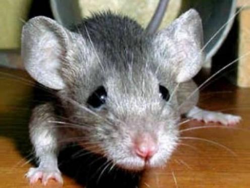 Эпидемиологи опасаются вспышки «мышиной лихорадки»