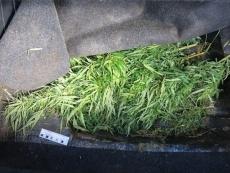 Житель Звенигово пытался поставить на учёт автомобиль нашпигованный коноплёй
