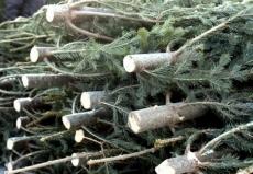 Житель Нижегородской области решил разжиться хвойными деревьями в Марий Эл