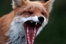 Бешеные лисы продолжают терроризировать Марий Эл