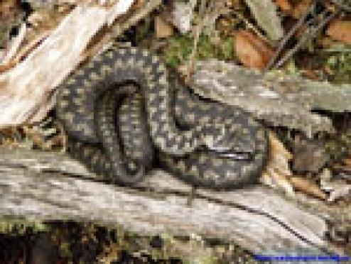Змеи открыли сезон охоты на жителей Марий Эл