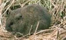 Эпидемиологам Марий Эл удается сдерживать «мышиную лихорадку»