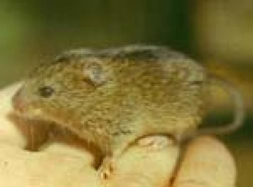 В Марий Эл – массовое заболевание «мышиной лихорадкой» среди подсобных рабочих