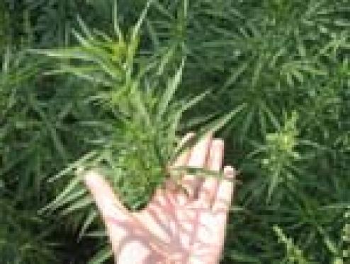В Марий Эл появились индонезийские наркотики