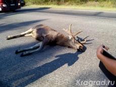 На Кокшайском тракте сбили лося