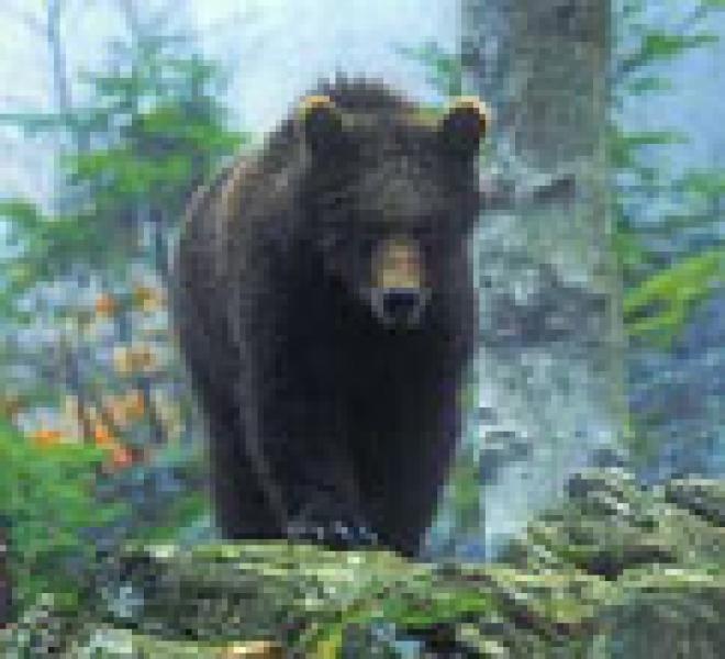 Декабрьская оттепель разбудила медведей – в лесах Марий Эл стали находить их свежие следы