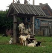 В минсельхозе России пообещали решить вопрос субсидирования литра козьего молока