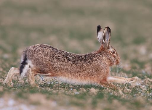 В Марий Эл охоту на зайца-русака могут запретить
