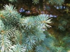 Агентство лесного хозяйства Марий Эл разрешило вырубить 5500 ёлок