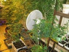 Житель Марий Эл выращивал на даче коноплю