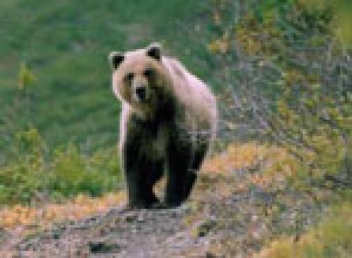 В садах по Козьмодемьянскому тракту Республики Марий Эл завёлся медведь