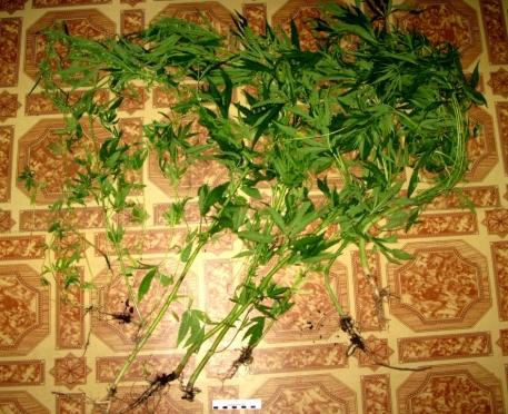 Житель Волжска в лесопосадке выращивал коноплю