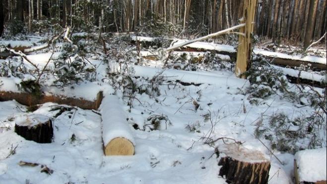 Житель Нижегородской области оштрафован за незаконную рубку в марийских лесах