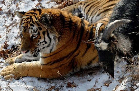Тигр Амур вторую неделю продолжает мирно жить с козлом Тимуром в Приморском сафари-парке