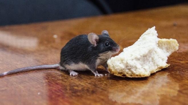 В Марий Эл отмечен всплеск «мышиной лихорадки»