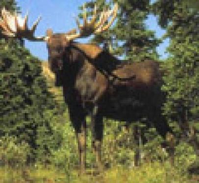 В Марий Эл открыта охота на лося