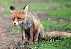 В Марий Эл бешеные лисы нападают на домашний скот