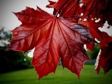 В Воскресенском парке Йошкар-Олы будут расти красные клены