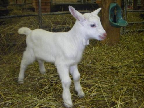 В Марий Эл вывели новую породу коз — марийская зааненская
