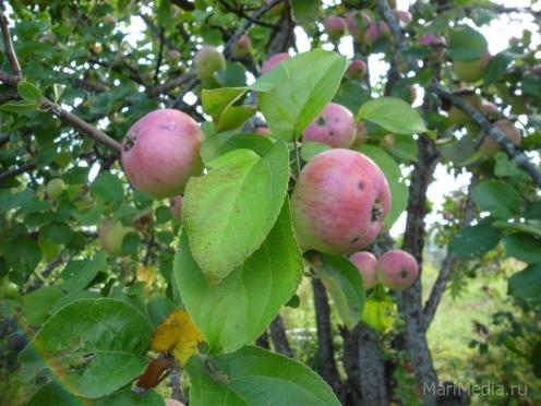 В Йошкар-Оле началась «яблочная война»
