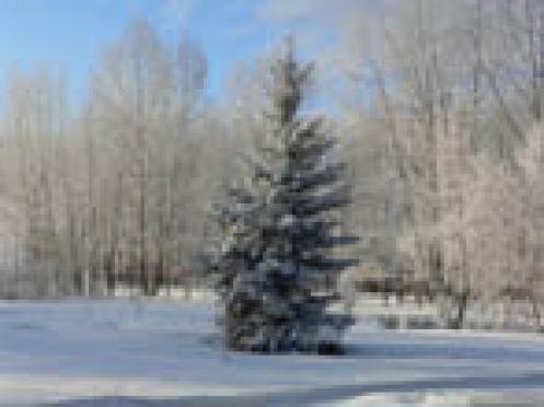 Министерство лесного хозяйства Марий Эл подсчитало новогодние убытки