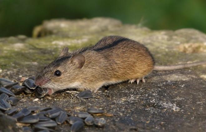 В Марий Эл четыре человека заразились «мышиной лихорадкой»