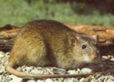 Эпидемиологи призывают жителей Марий Эл встретить мышей во всеоружии