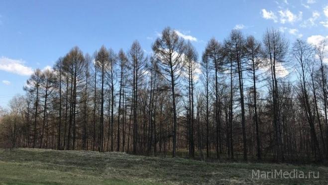 В лесах Марий Эл сохраняется высокая пожароопасность
