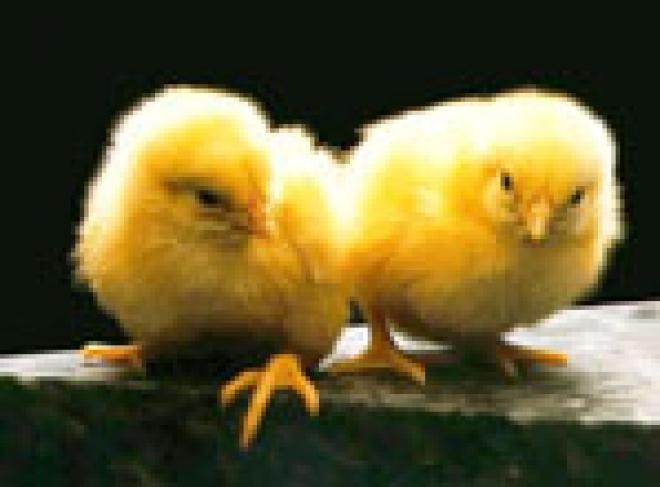 В апреле в Марий Эл начнется вакцинация домашней птицы