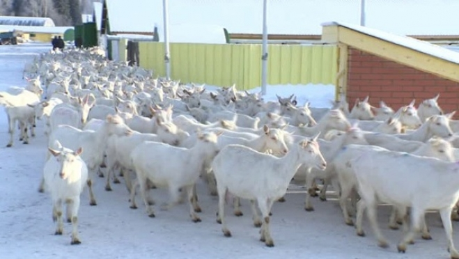 В Республике Марий Эл открылась ещё одна козья ферма